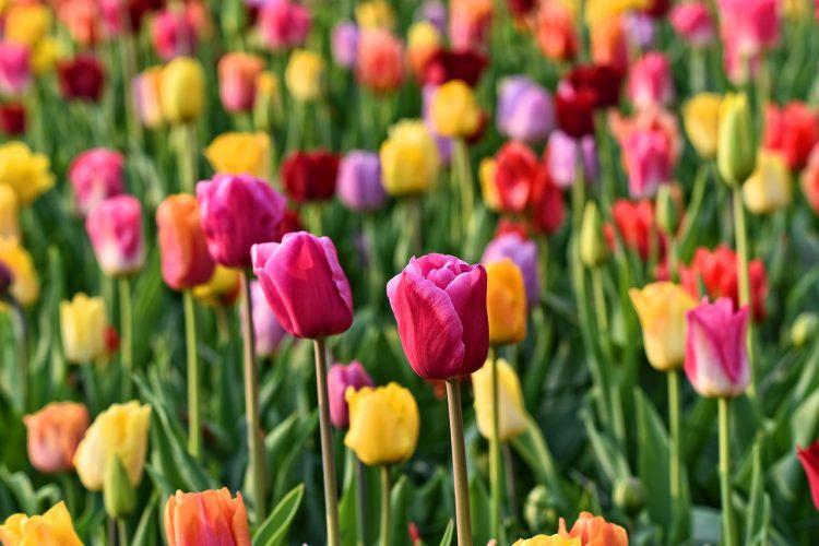 jardines_tulipanes_keukenhof_ok3